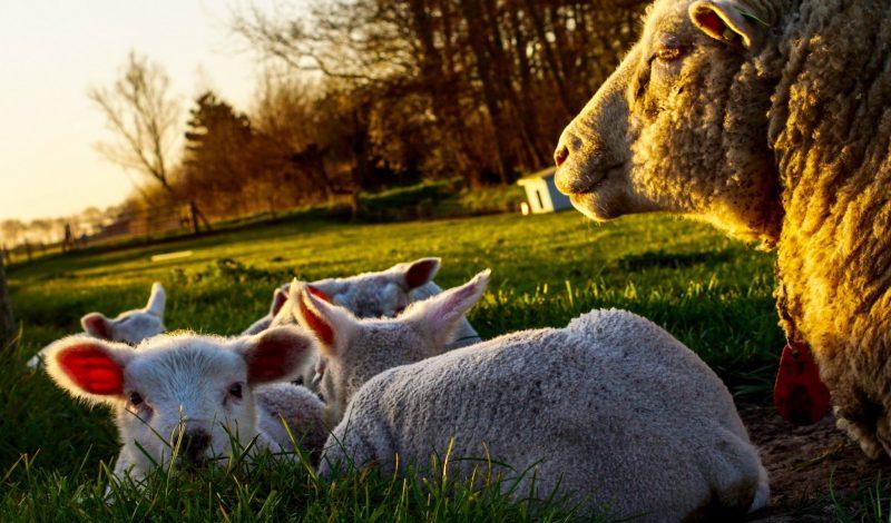 Sheep Sho